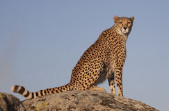 Cheetah on a rock Royalty Free Stock Photos