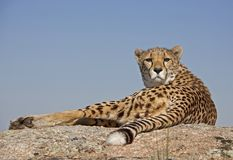 Cheetah on a rock Royalty Free Stock Image