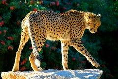 Cheetah on rock Stock Photos