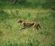 Cheetah on the run. Cheetah running through the grass, Samburu National Park, Africa Royalty Free Stock Photography
