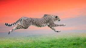 Cheetah run. The cheetah is hunting at sunset Royalty Free Stock Images