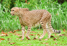 Cheetah Running Stock Image