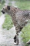 Cheetah. A cheetah running down the trail Stock Photos