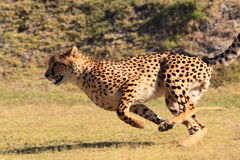Cheetah running fast stock photos
