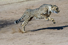 Cheetah running with its shadow. Cheetah speeding with its shadow Royalty Free Stock Photos