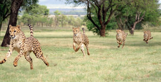 Cheetah running sequence Royalty Free Stock Photo