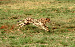 Cheetah running 3. The cheetah was at the De Wildt Cheetah Project in South Africa. Were they were breed in captivity Stock Photography