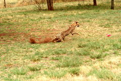 Cheetah running 5. The cheetah was at the De Wildt Cheetah Project in South Africa. Were they were breed in captivity Royalty Free Stock Photo