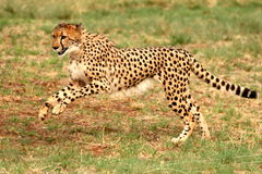 Cheetah running 6. The cheetah was at the De Wildt Cheetah Project in South Africa. Were they were breed in captivity Royalty Free Stock Photography