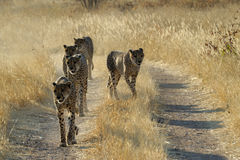 Cheetah's. Walking behind eachother on a road Royalty Free Stock Images