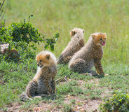 Cheetah's cubs Royalty Free Stock Image