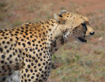 Cheetah`s face, close up. In a game reserve in Kenya Royalty Free Stock Image