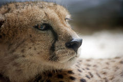 A Cheetah's  Gaze. The deadly gaze of a cheetah which is always on a look out to hunt Royalty Free Stock Photos