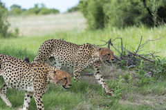 Cheetah's on the move. Three Cheetah's had killed a baby tsessebe (antelope) and were eating it as fast as they could to prevent lions / hyenas to steal the kill Stock Images