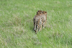 Cheetah's on the move Stock Photos