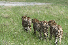 Cheetah's on the move Stock Images