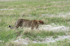Cheetah's on the move Stock Image