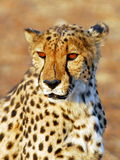 Cheetah's portrait. A close up of a scarred cheetah Royalty Free Stock Photos