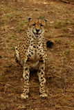 Cheetah's Smile. A Cheetah in the zoo Royalty Free Stock Photo