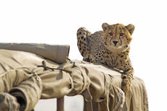 Cheetah on safari jeep Stock Photo