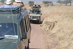 Cheetah safari Stock Photography