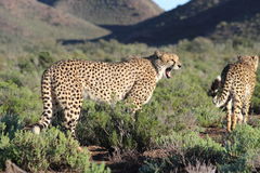 Cheetah in Sanbona Wildlife Reserve. Two huge male cheetah approached on a nature walk in the Sanbona Wildlife Reserve in the Little Karoo in South Africa Royalty Free Stock Images