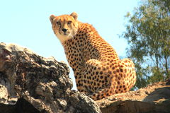 Cheetah. Sat on rocks looking over its shoulder, Hall Gap Zoo, Australia royalty free stock image