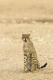 Cheetah sat and snarling Stock Photo