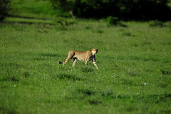 Cheetah. In the savanna of africa on the prowl Stock Photography