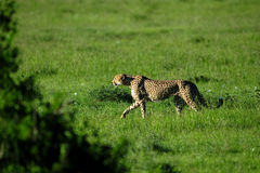 Cheetah. In the savanna of africa on the prowl Royalty Free Stock Photography