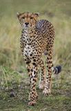 Cheetah in the savanna. Close-up. Kenya. Tanzania. Africa. National Park. Serengeti. Maasai Mara. Stock Images