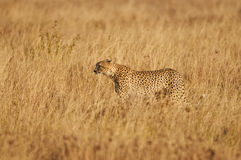 Cheetah in the savanna Royalty Free Stock Image