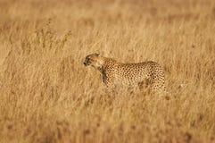 Cheetah in the savanna. Cheetah hunting in the savannah of the Serengeti (Tanzania Royalty Free Stock Image