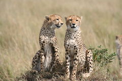 Cheetah in the Savanna Stock Images