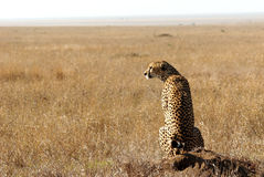 Cheetah in savanna looking away Stock Images