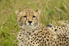 Cheetah in the Savannah Stock Images