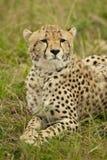 Cheetah in the Savannah Stock Photo