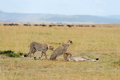 Cheetah on savannah in Africa Stock Photography