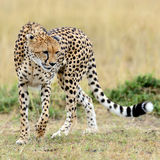 Cheetah on savannah in Africa Royalty Free Stock Images