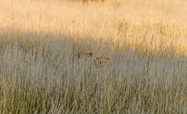 Cheetah in the savannah, Namibia. Couple of cheetahs in the savannah, Namibia Stock Photo