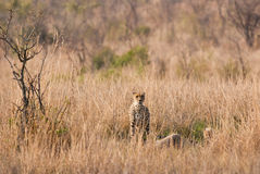 Cheetah in savannah Royalty Free Stock Photography
