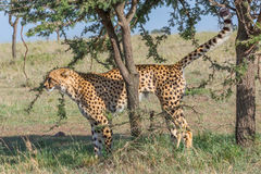 Cheetah Scent Marking Tree, Masai Mara, Kenya. A male Cheetah, scent-marking an Acacia tree in Olare Orok Conservancy, bordering Masai Mara, Kenya. Its long stock image