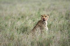 Cheetah - Serengeti, Africa Stock Image