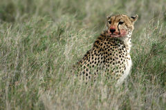 Cheetah - Serengeti, Africa Royalty Free Stock Images