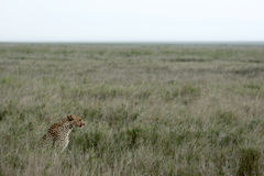 Cheetah - Serengeti, Africa Stock Photo
