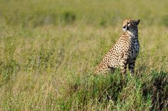 Cheetah. In The Serengeti, Africa Royalty Free Stock Image