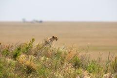 Cheetah in Serengeti Royalty Free Stock Photo