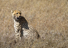 Cheetah in the Serengeti National Park Royalty Free Stock Images