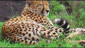 Cheetah Serengeti National Park stock footage