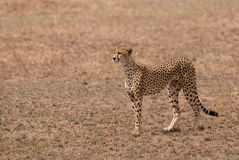 Cheetah at Serengeti Park Tanzania Stock Image